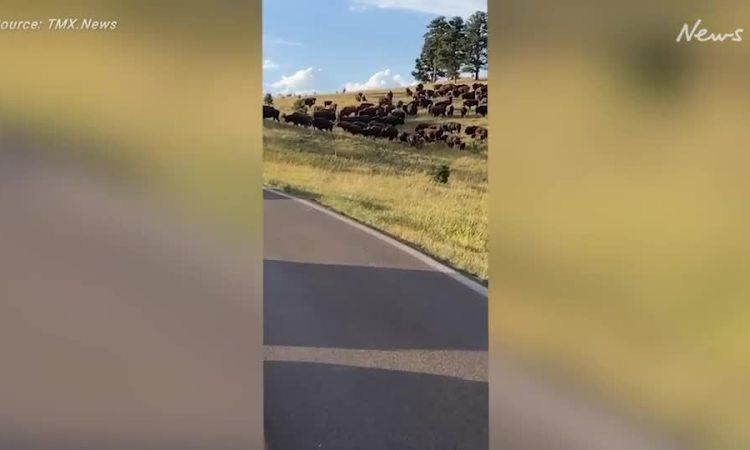 Khách nữ bị mất quần do bò rừng tấn công