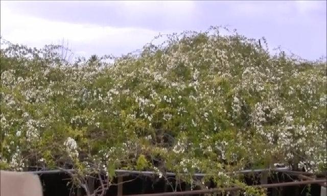 Cây hoa hồng phủ tán rộng 700 m2, nở hàng nghìn bông ở Mỹ