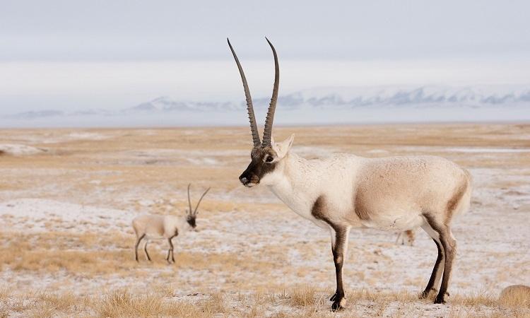 20.000 linh dương Tây Tạng bắt đầu mùa sinh sản