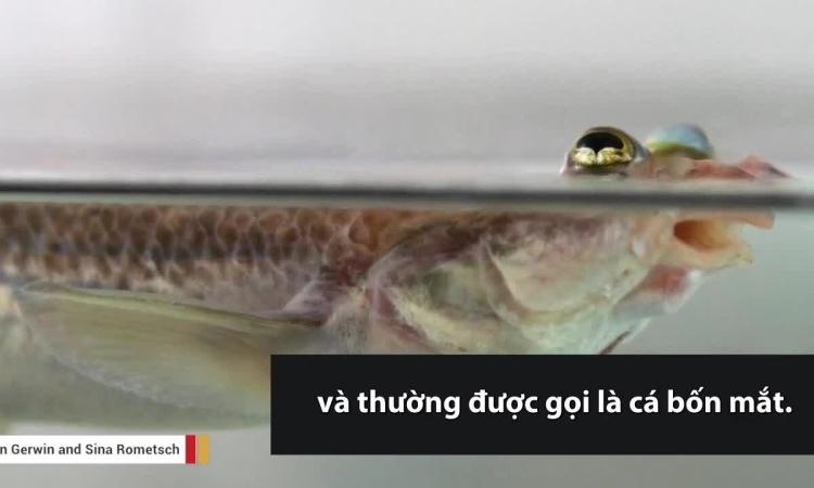 Cá 'bốn mắt' nhìn được cùng lúc trên và dưới mặt nước
