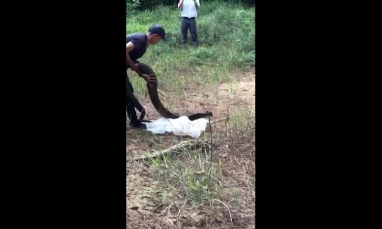 Thả rắn hổ mang chúa 21 kg vào rừng