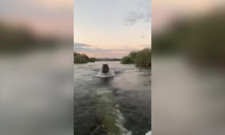 Hà mã nổi điên rượt đuổi thuyền cao tốc