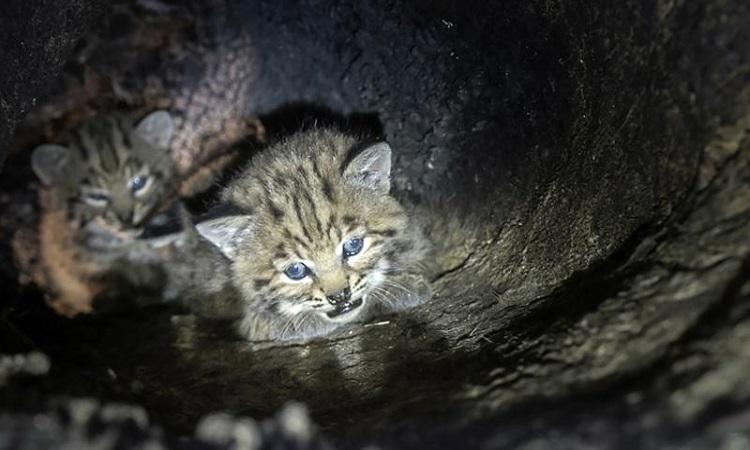 Linh miêu nuôi đàn con trong hốc cây sau cháy rừng