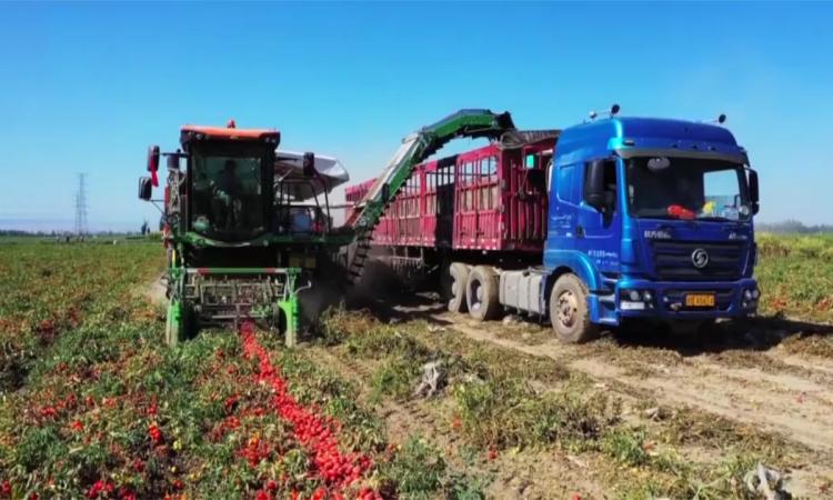 Máy thu hoạch và phân loại 6,6 ha cà chua mỗi ngày